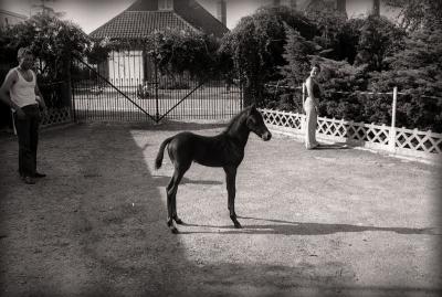 Paarden bij R. Reyns, Staden 1976